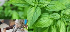 Kabar Gembira kini ekstraksi daun kemangi bisa digunakan sebagai hand spray dan face softener