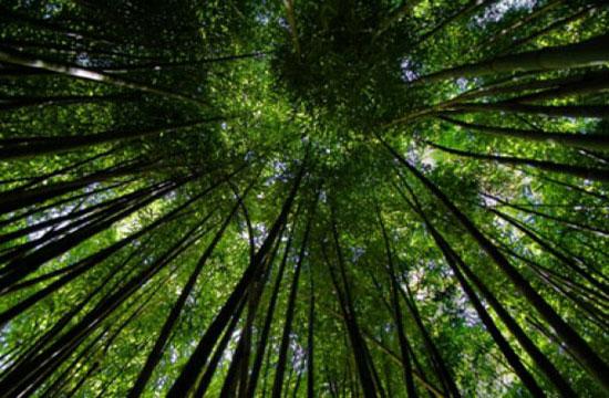 hantu-pohon-bambu